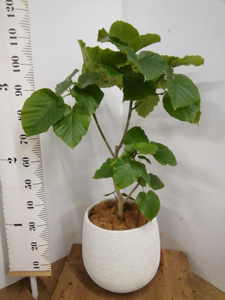 観葉植物 フィカス ウンベラータ 8号 ノーマル エコストーンwhite 付き