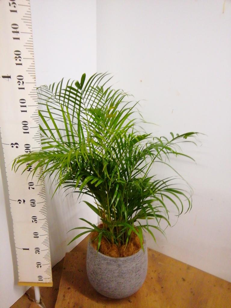 観葉植物 アレカヤシ 8号 エコストーンGray 付き