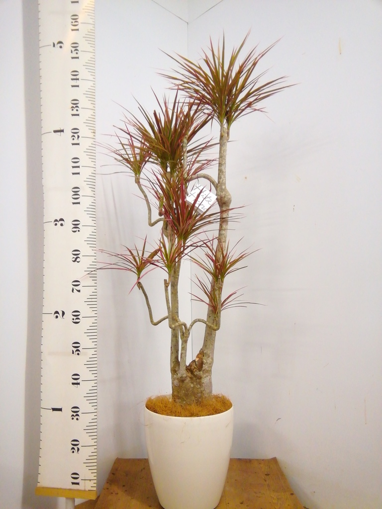観葉植物 【150cm】 ドラセナ コンシンネ レインボー 8号 曲り #22897
