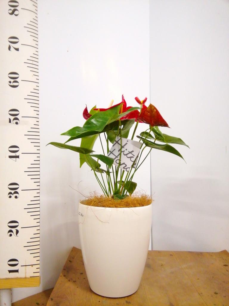 観葉植物 アンスリウム 6号 ダコタ ラスターポット 付き