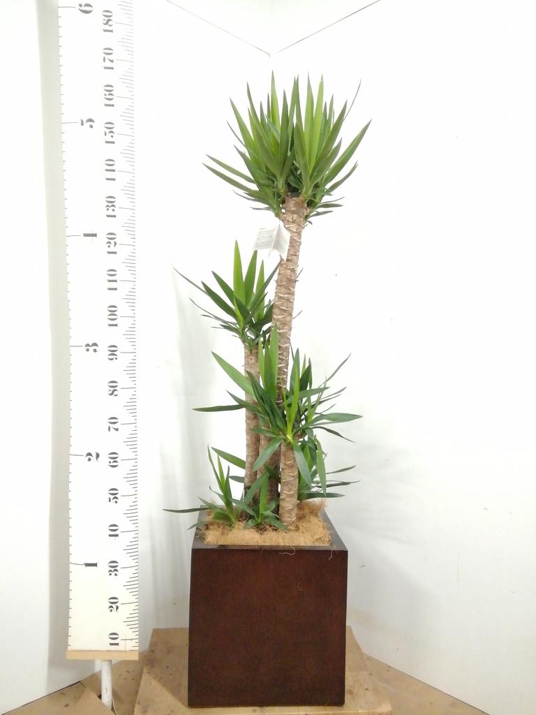 観葉植物 ユッカ 10号 ノーマル MOKU キューブ 付き
