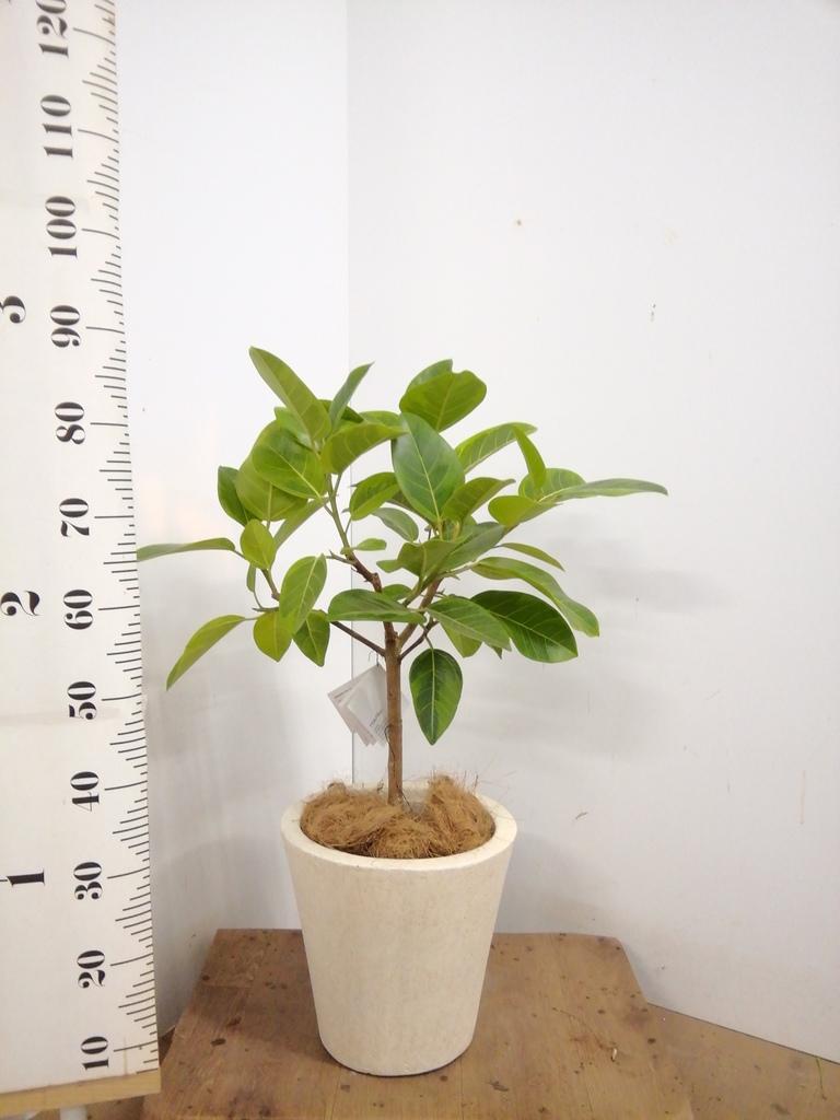 観葉植物 フィカス アルテシーマ 7号 ストレート フォリオソリッド クリーム 付き
