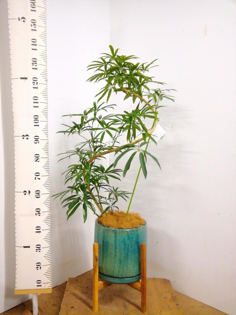 観葉植物 シェフレラ アンガスティフォリア 8号 曲り ビトロ エンデガ ターコイズ ウッドポットスタンド付き