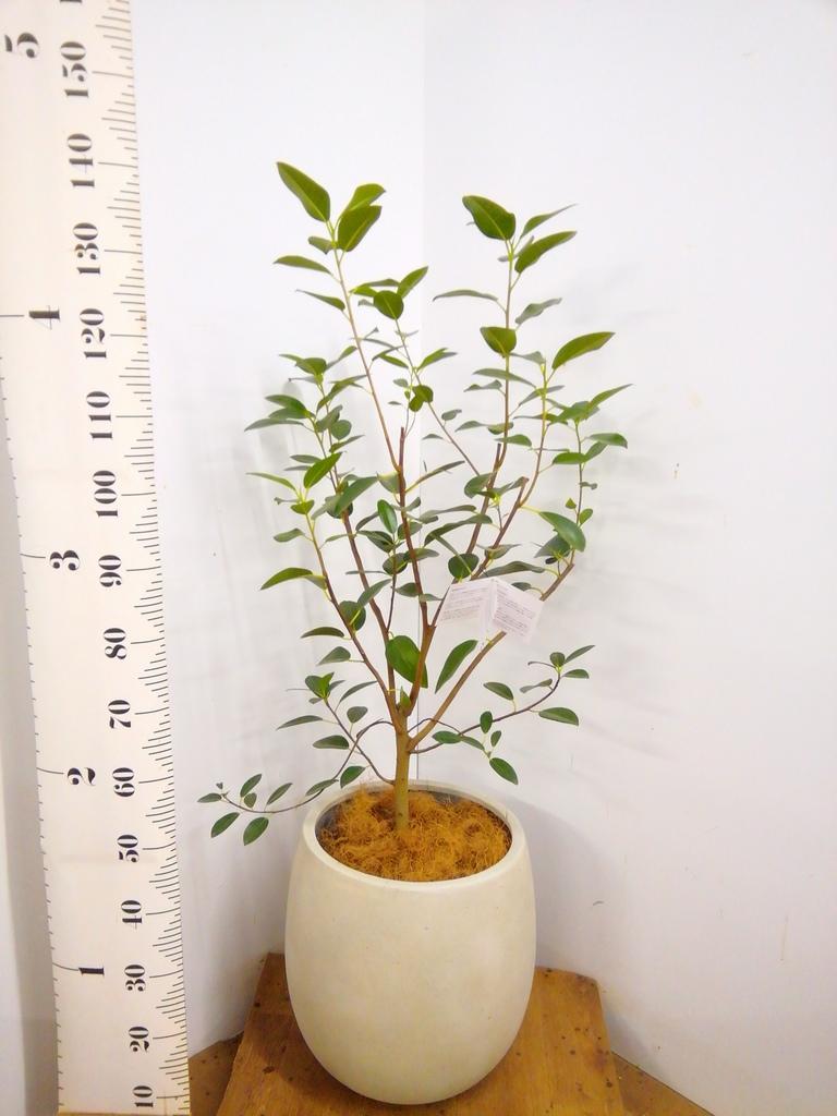 観葉植物 フランスゴムの木 8号 ノーマル テラニアス バルーン アンティークホワイト 付き