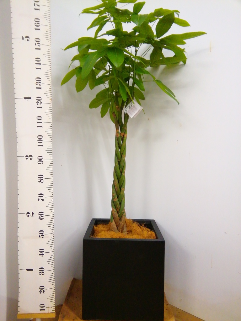 観葉植物 パキラ 10号 ねじり ベータ キューブプランター 黒 付き