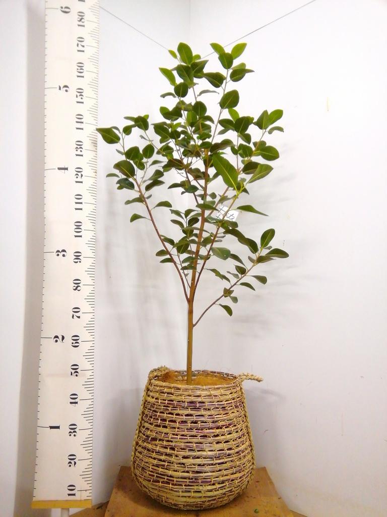 観葉植物 フランスゴムの木 10号 ノーマル リゲル 茶 付き