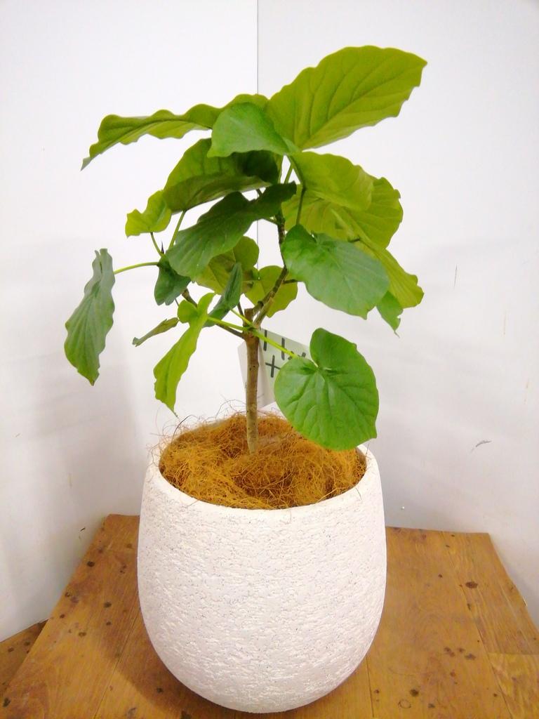 観葉植物 フィカス ウンベラータ 6号 ノーマル エコストーンwhite 付き