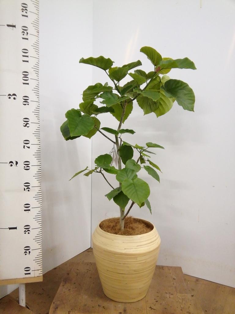 観葉植物 フィカス ウンベラータ 8号 ノーマル アルマ ミドル 付き