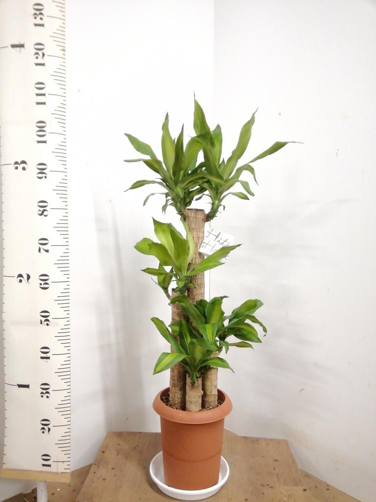 観葉植物 ドラセナ 幸福の木 8号 ノーマル プラスチック鉢