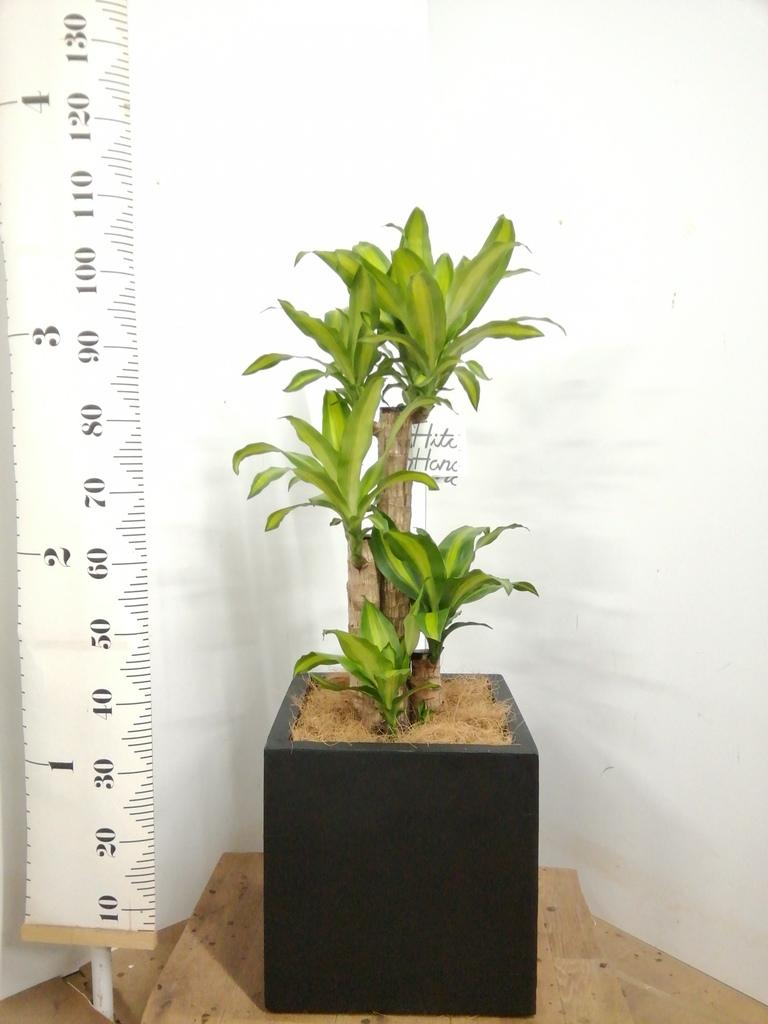 観葉植物 ドラセナ 幸福の木 8号 ノーマル ベータ キューブプランター 黒 付き