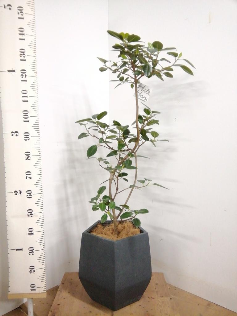 観葉植物 フランスゴムの木 8号 曲り ファイバークレイ Gray 付き