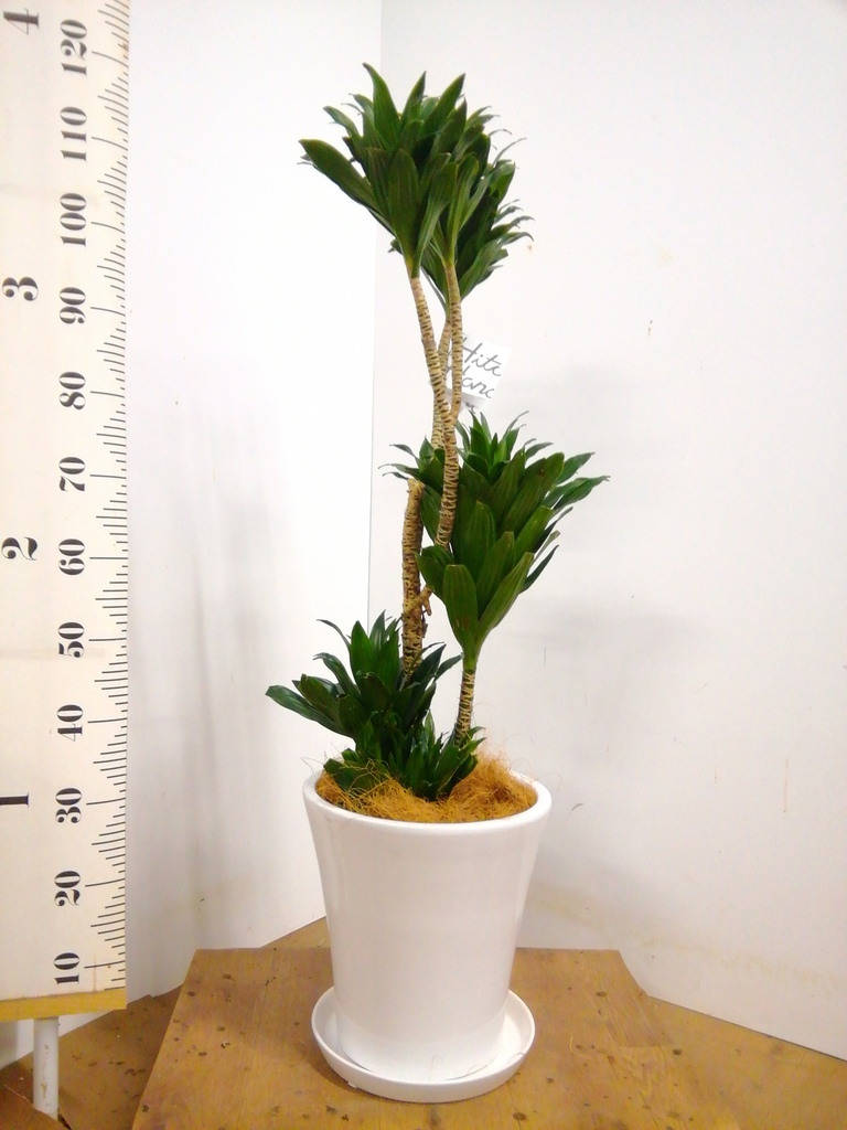 観葉植物 ドラセナ コンパクター 8号 サブリナ 白 付き