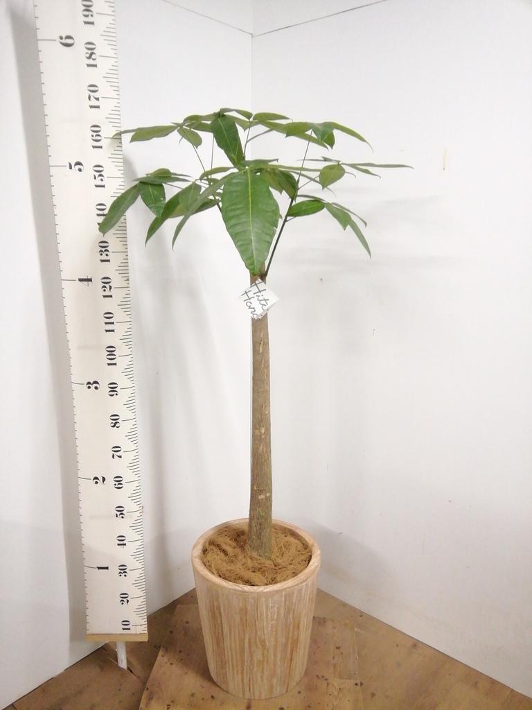 観葉植物 パキラ 10号 朴 ウッドプランター 付き