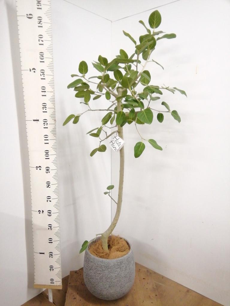 観葉植物 フィカス ベンガレンシス 8号 ストレート エコストーンGray 付き