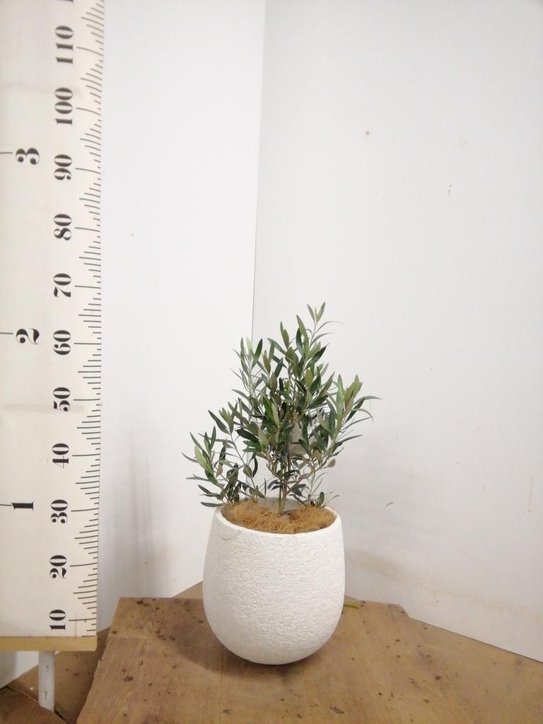 観葉植物 オリーブの木 6号 チプレッシーノ エコストーンwhite 付き