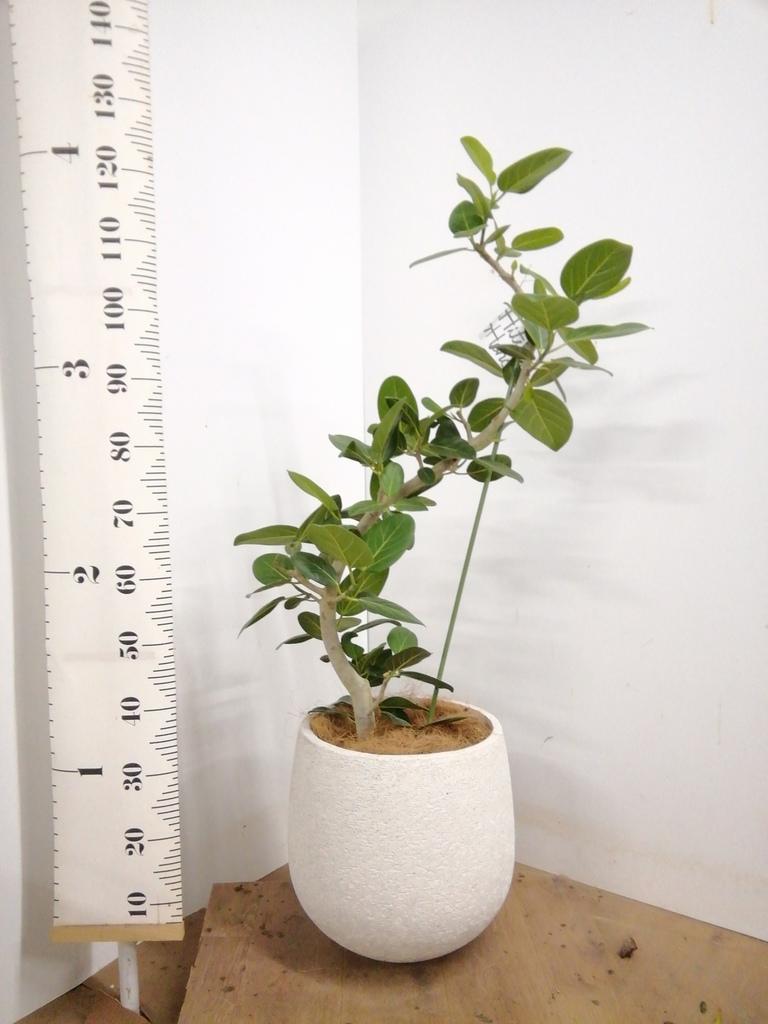 観葉植物 フィカス ベンガレンシス 8号 曲り エコストーンwhite 付き