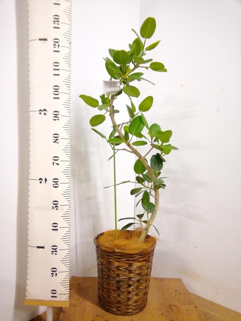観葉植物 フィカス ベンガレンシス 8号 曲り 竹バスケット 付き