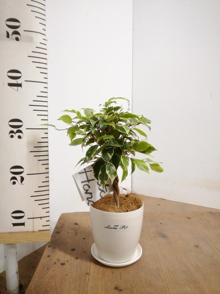 観葉植物 フィカス ベンジャミン 4号 プリンセス ラスターポット 付き