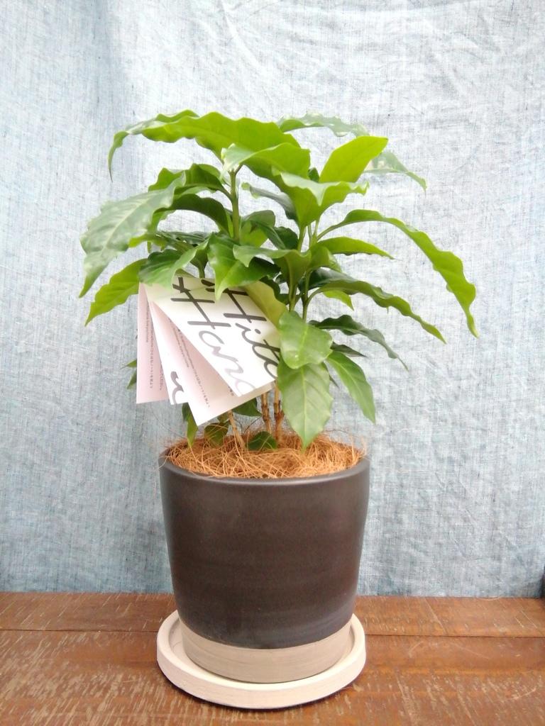 観葉植物 コーヒーの木 4号 マット グレーズ テラコッタ ブラック 付き