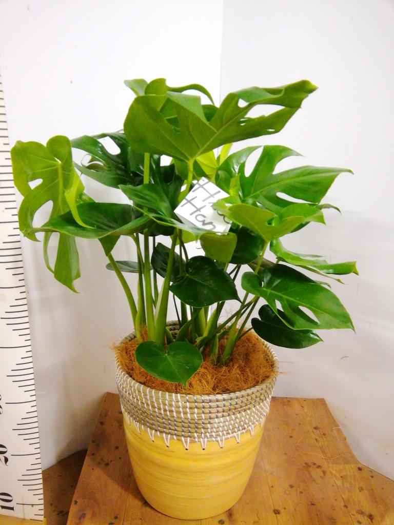 観葉植物 モンステラ 8号 ボサ造り アルマ コニック 白 付き