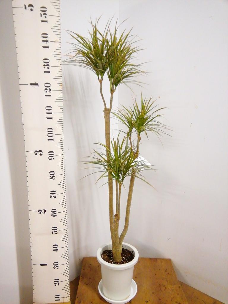 観葉植物 【150cm】ドラセナ コンシンネ トリカラー 8号 #21813