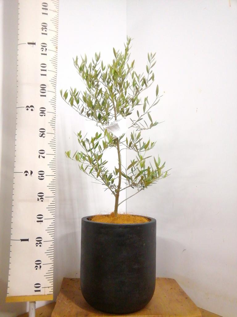観葉植物 オリーブの木 8号 オヒブランカ エルバ 黒 付き