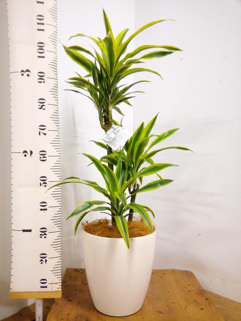 観葉植物 ドラセナ ワーネッキー レモンライム 8号 ラスターポット 付き