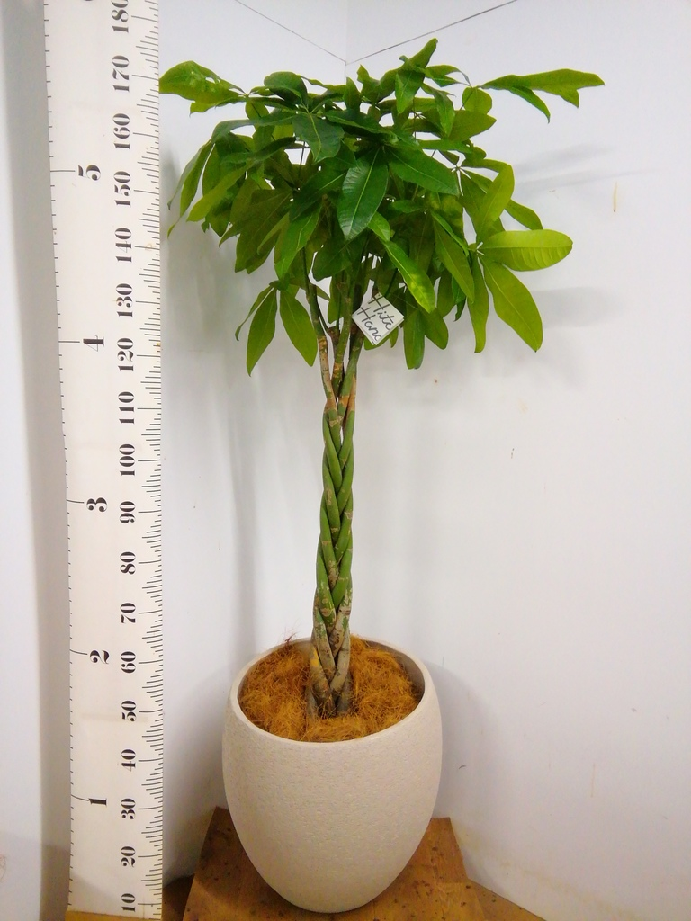 観葉植物 パキラ 10号 ねじり エコストーンLight Gray 付き