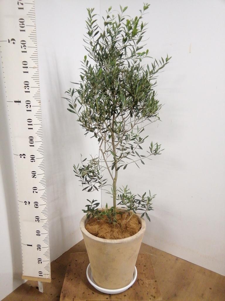 観葉植物 オリーブの木 10号 チプレッシーノ ルーガ アンティコ ソリッド 付き