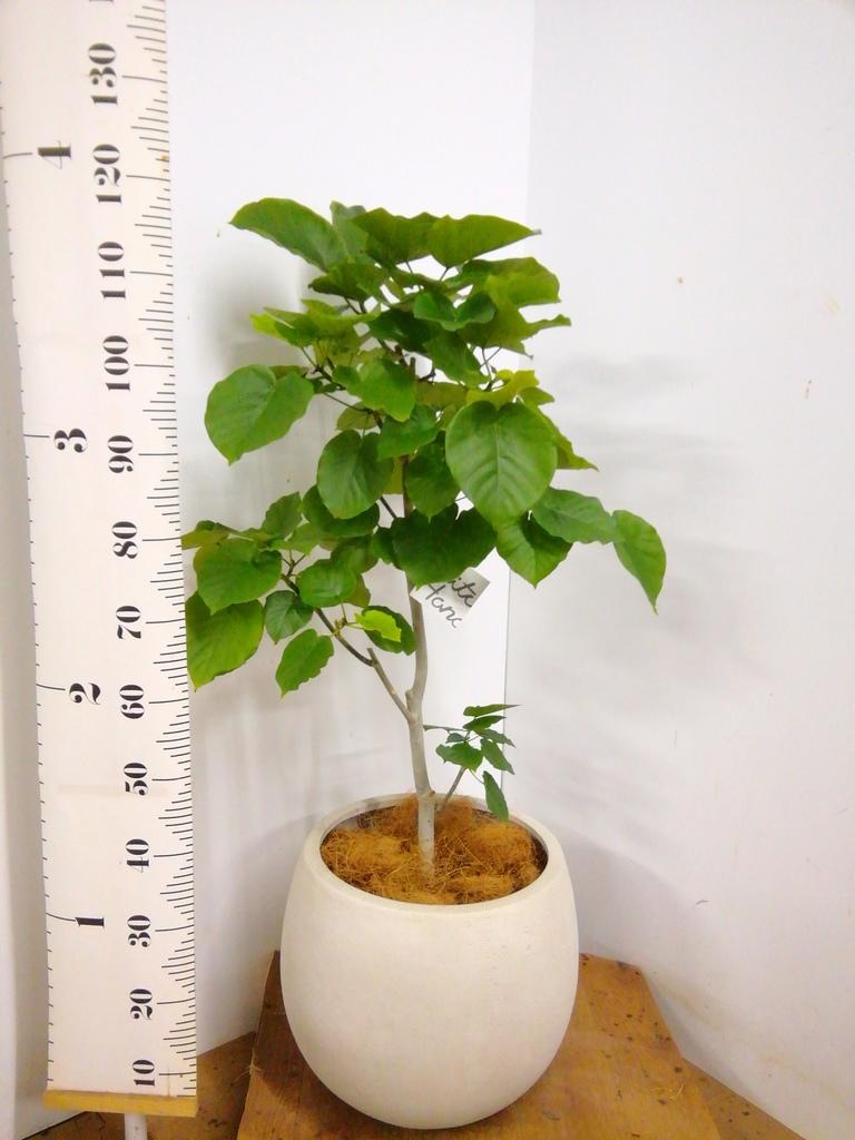 観葉植物 【130cm】 フィカス ウンベラータ 8号 #23291