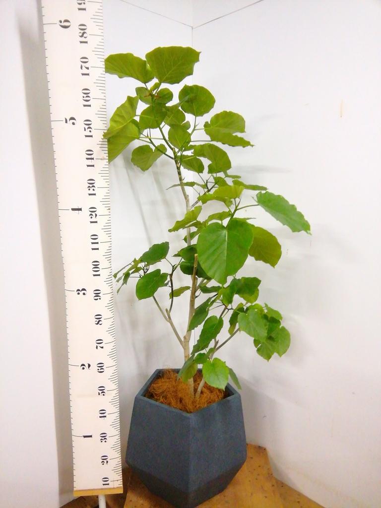 観葉植物 【175cm】 フィカス ウンベラータ 10号 #23241