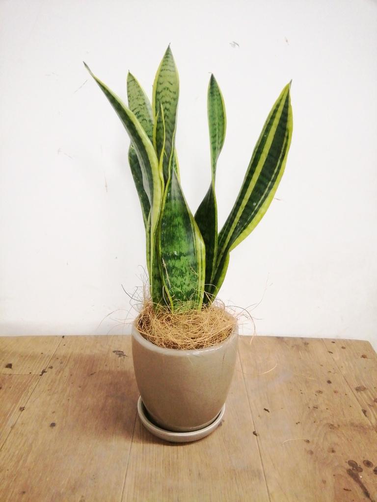 観葉植物 サンスベリア 4号 トラノオ アステア トール ベージュ 付き