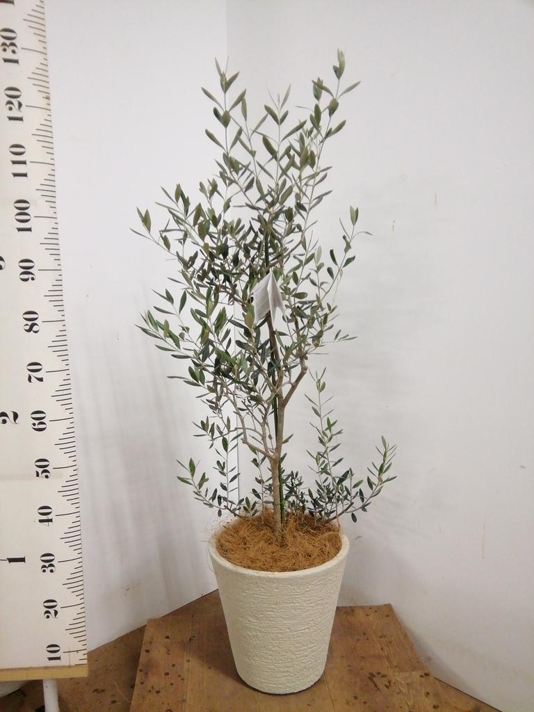 観葉植物 オリーブの木 8号 コレッジョラ ビアスソリッド 白 付き