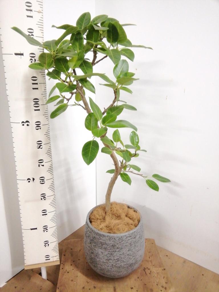 観葉植物 フィカス アルテシーマ 8号 曲り エコストーンGray 付き