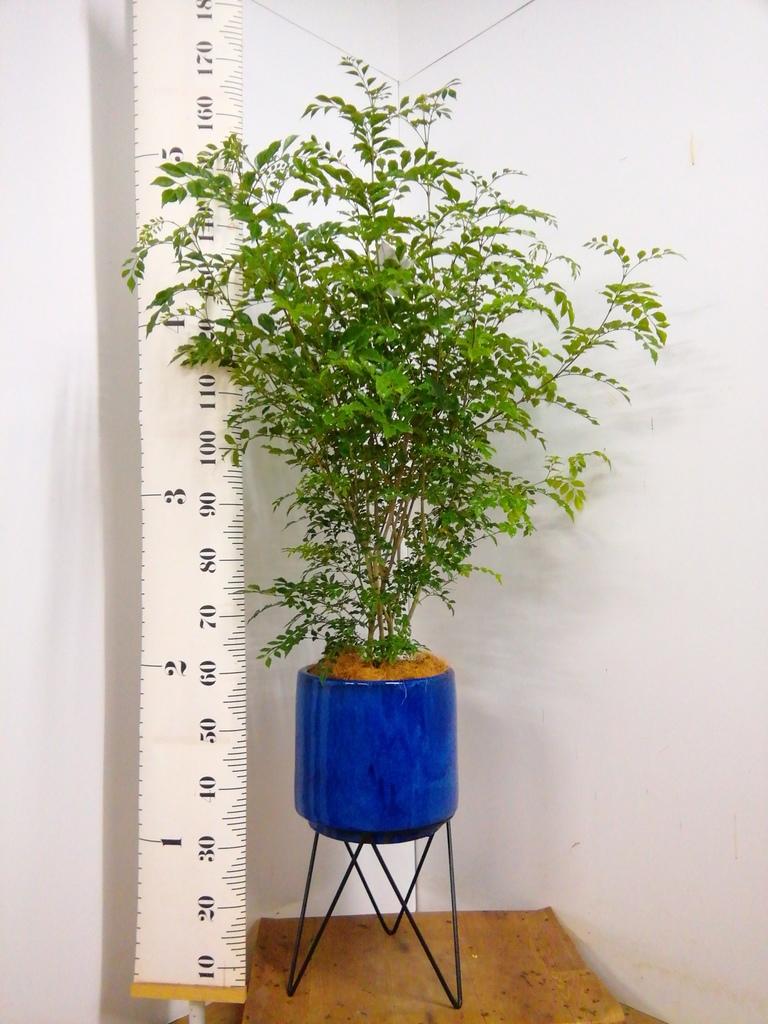 観葉植物 シマトネリコ 8号 ビトロ エンデカ 鉢カバースタンド付 ブルー 付き