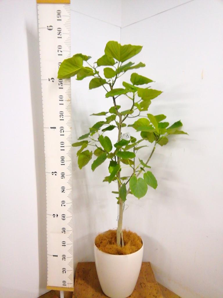 観葉植物 【170cm】 フィカス ウンベラータ 10号 #23195
