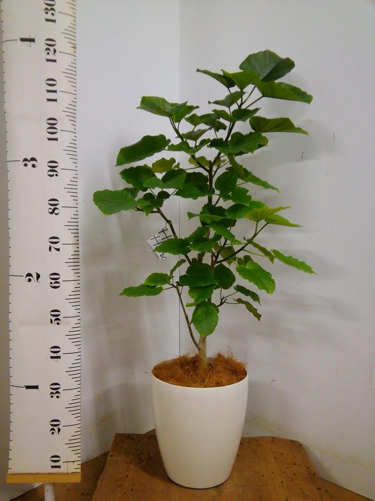 観葉植物 【125cm】 フィカス ウンベラータ 8号 #23275