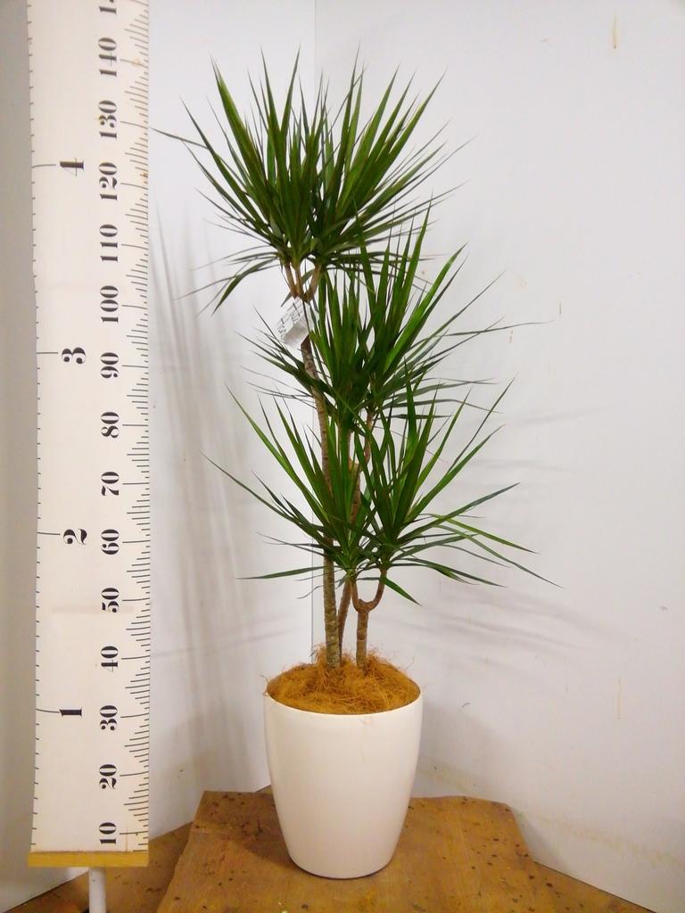 観葉植物 ドラセナ コンシンネ 8号 寄せ ラスターポット 付き