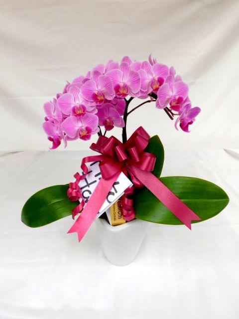 ミニ胡蝶蘭 ピンク 2本立ち テーブルタイプ