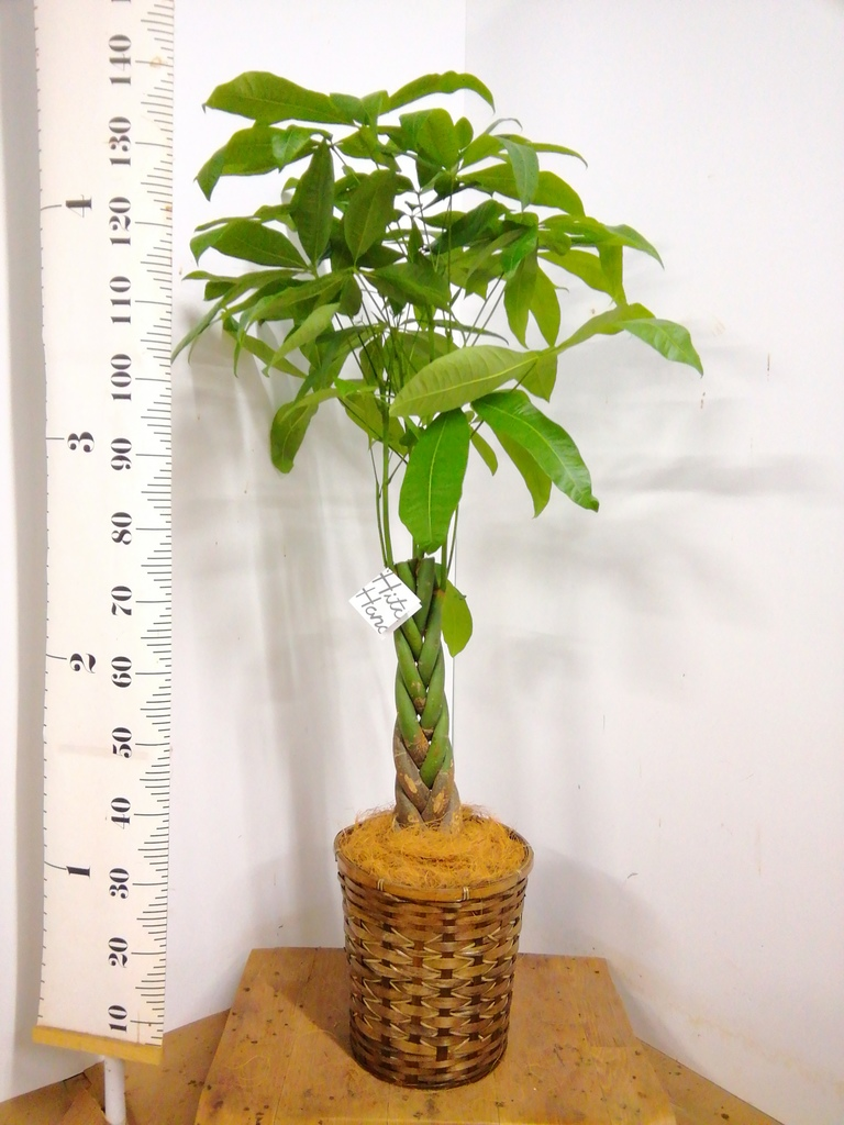 観葉植物 パキラ 8号 ねじり 竹バスケット 付き