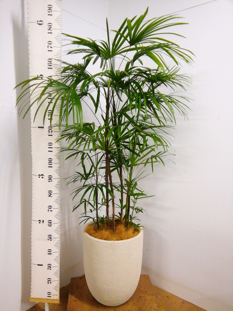観葉植物 シュロチク(棕櫚竹) 10号 ビアスアルトエッグ 白 付き