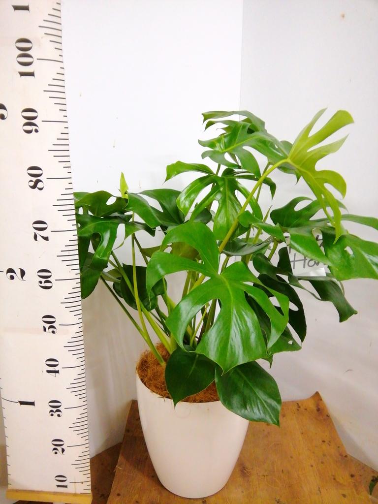 観葉植物 モンステラ 8号 ボサ造り ラスターポット 付き