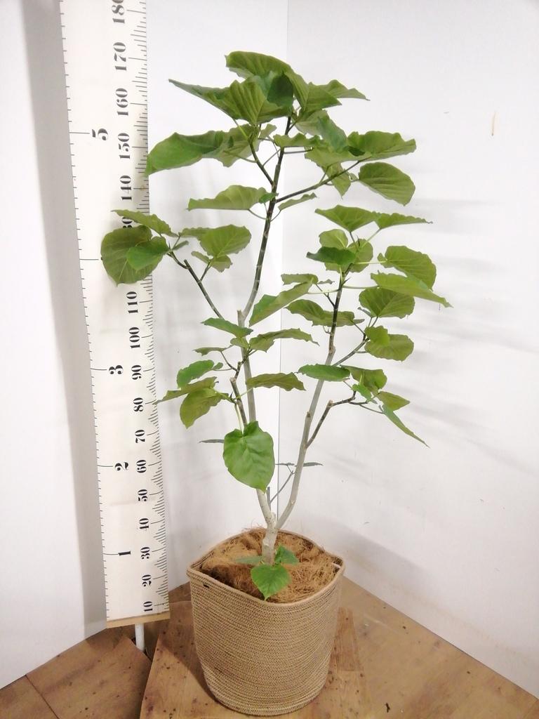 観葉植物 【170cm】 フィカス ウンベラータ 10号 #23213