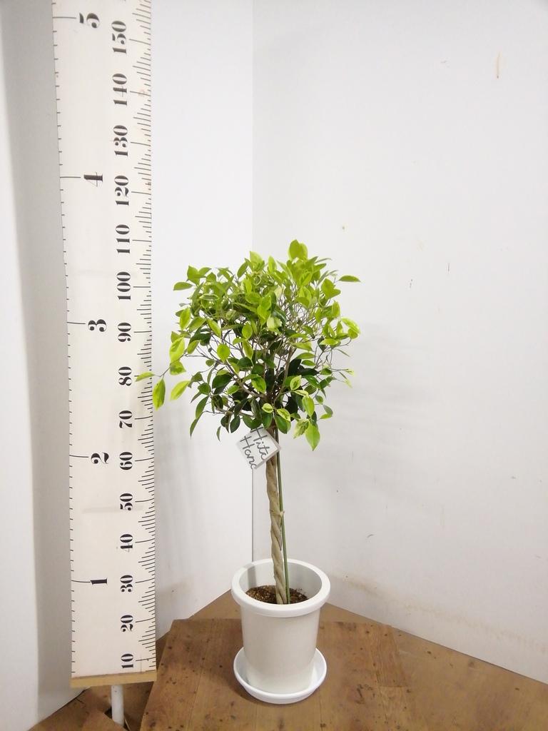 観葉植物 フィカス ベンジャミン 8号 ゴールデンスポット プラスチック鉢