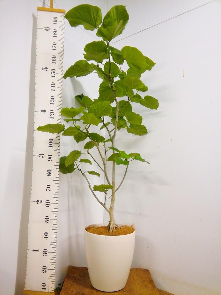 観葉植物 【175cm】 フィカス ウンベラータ 10号 #23233