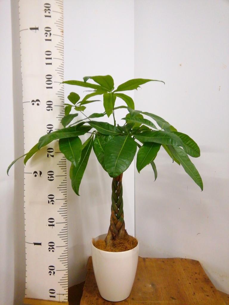 観葉植物   寝室 シンプルな寝室に置く観葉植物 3点セット(6号×1、4号×2)