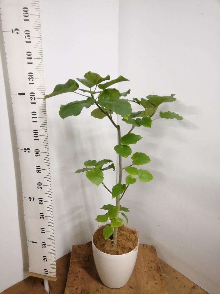 観葉植物 【130cm】 フィカス ウンベラータ 8号 #23266