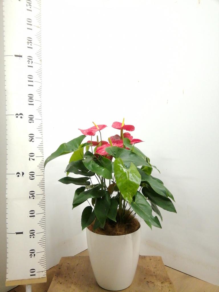 観葉植物 アンスリウム 8号 ダコタ ラスターポット 付き