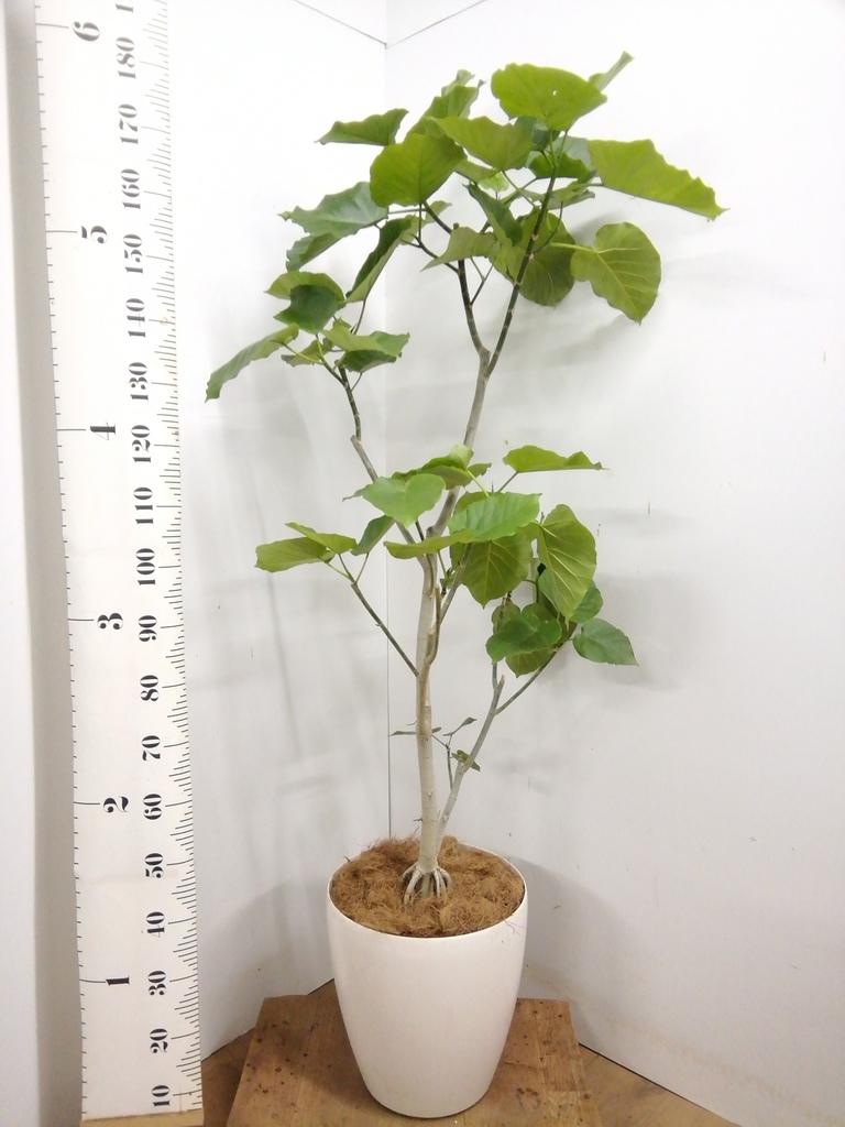 観葉植物 【175cm】 フィカス ウンベラータ 10号 #23214