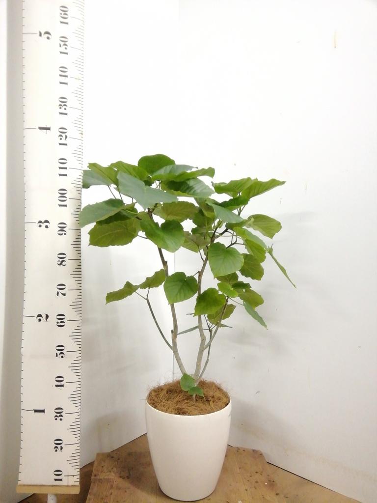 観葉植物 【110cm】 フィカス ウンベラータ 8号 #23284